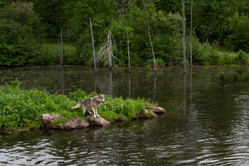 Grey Wolf (Canis lupus) Stands on Rock at Edge of Pond Island Summer