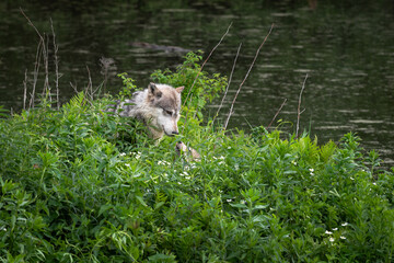 Grey Wolf (Canis lupus) Neck Deep in Greenery Greeted by Pup Summer