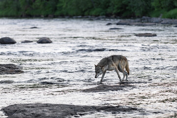 Grey Wolf (Canis lupus) Crosses River Head Down Summer