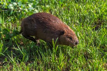 Adult Beaver (Castor canadensis) Runs Right in Grass Summer