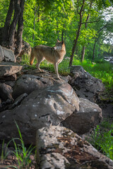 Grey Wolf (Canis lupus) Looks Back Over Shoulder on Rocks at Edge of Forest Summer