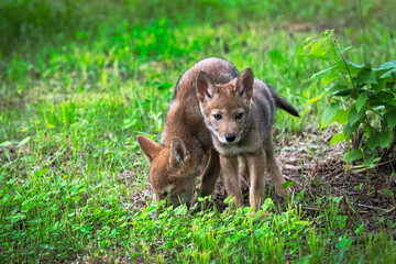 Coyote Pups (Canis latrans) Stand Together Summer