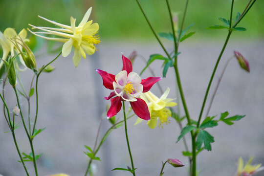 Red and yellow aquilegia flowers. Incomplete focus