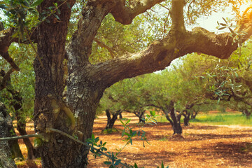 Photo sur Aluminium Oliviers Olive trees (Olea europaea) grove in Crete, Greece for olive oil production. Horizontal camera pan