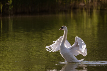Mute swan swims in the river waters spreading its large wings