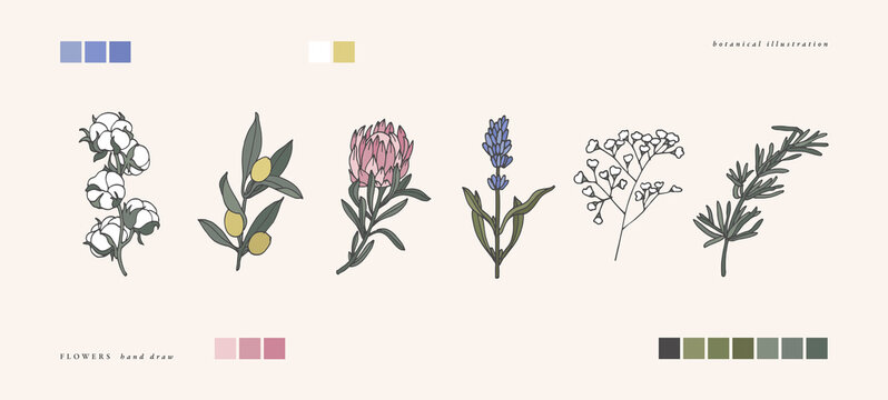 Vector illustration botanical herbs - vintage engraved style. Cotton, olive branch, protea, lavender, gypsophila and rosemary.