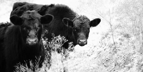 Wall Mural - Black angus calves close up looking at camera from cow farm field.