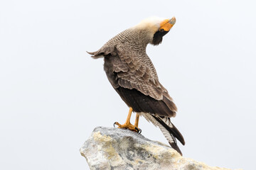 Adult Crested/ Southern Caracara displaying Fotomurales