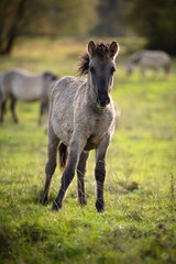Konik ponies are one of the original pony breeds. They were bred mainly for robustness and work...