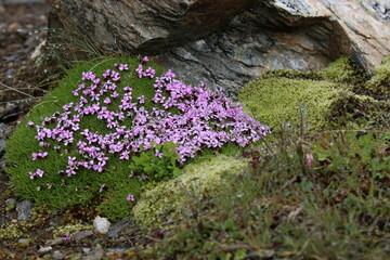 Blume mit lila Blüten im Hochgebirge.