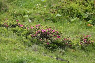 Blühender Almrausch in den Alpen.