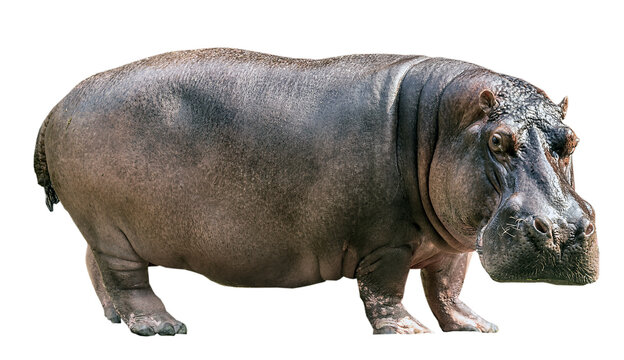 Hippopotamus isolated on white background