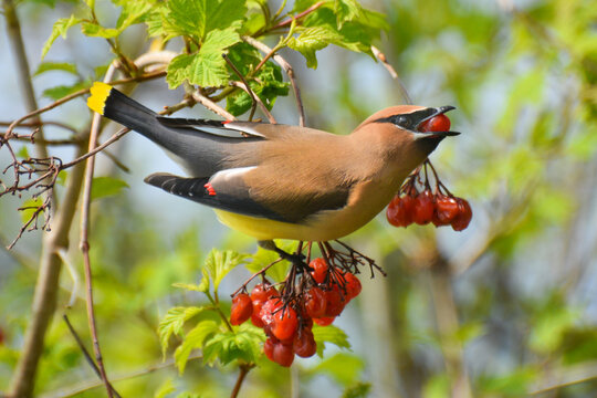 Cedar Waxwing eating berries from Cranberry Viburnum