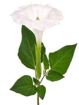 White flower of Downy Thorn Apple, Datura innoxia