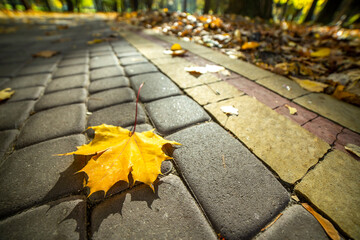 Close up of big yellow maple leaves laying on pedestrian sidewalk in autumn park.