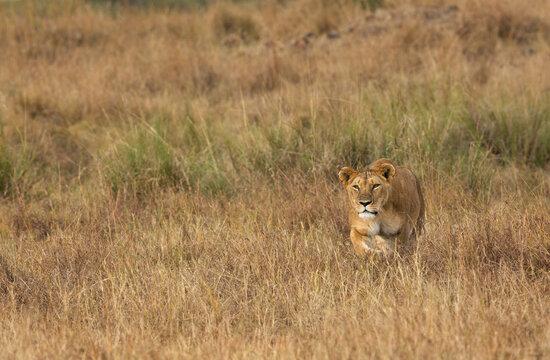 Lioness stalking a zebra in the grassland of  Masai Mara
