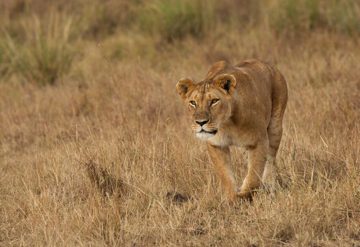 Lion stalking a Zebra at Masai Mara