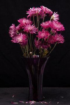 Pink and White Chrysanthemum in purple vase  on Black Background