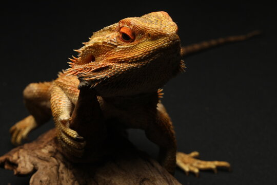 A Central netted dragon or central netted ground dragon, Ctenophorus nuchalis, is a species of agamid lizard occurring in a wide range of arid to semiarid regions of Australia.