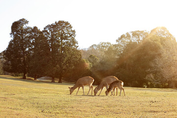 奈良公園-鹿-冬の朝