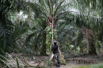 A worker collects palm oil fruits at a plantation, amid the coronavirus disease (COVID-19) outbreak in Klang