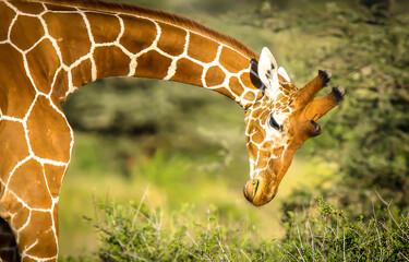 Photo sur Plexiglas Girafe giraffe in zoo