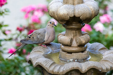 Mourning Dove by a Fountain in a Garden in Summer
