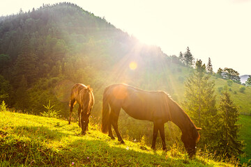 Horses and sunny morning in mountains, carpathian landscape