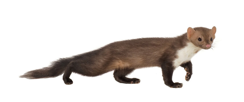 Stone marten, or Beech marten (Martes foina), isolated on White background
