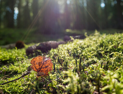 Germany, Close-up of leaf lying on moss in Upper Palatinate Forest