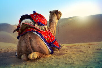 Photo sur Plexiglas Chameau Beautiful decorated Camel in Thar desert, Rajasthan, India