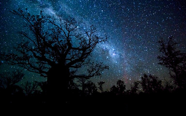 Very large Boab Tree silhouetted against night sky with Milky Way