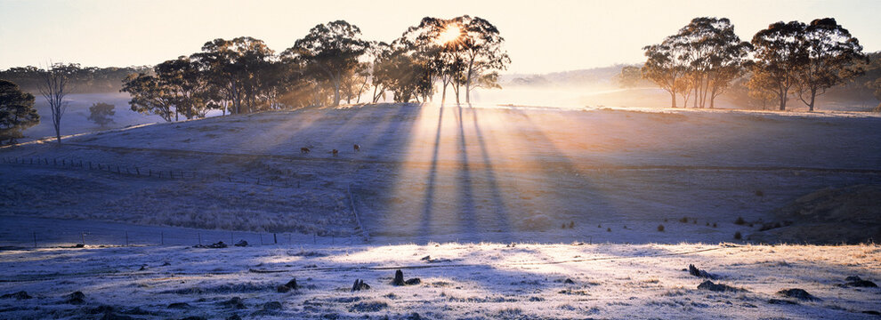 Rays of light shining through gum trees on a frosty hillside