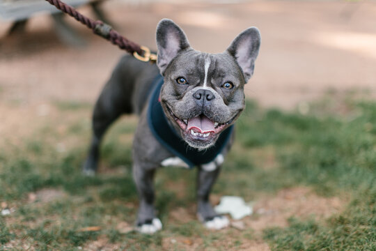 Blue Grey french bulldog