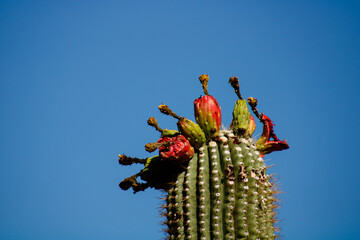 Crown of Saguaro Ripe Fruit on a bright blue day in Arizona Sonoran Desert