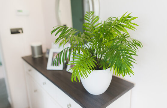 A potted plant  Chamaedorea elegans in a white vase