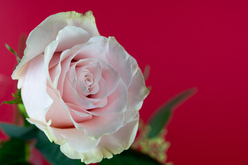 Beautiful pink rose flower bouquet with red background