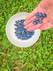ripe blueberries in a hand