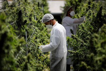 Employees tend to medical cannabis plants at Pharmocann, an Israeli medical cannabis company in northern Israel