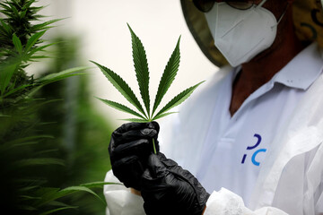 An employee holds a leaf of a medical cannabis plant at Pharmocann, an Israeli medical cannabis company in northern Israel