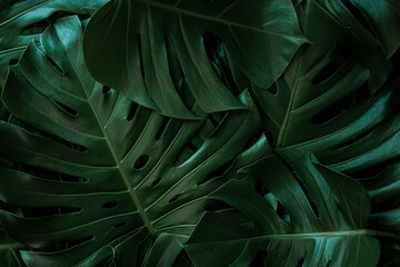 Wall Mural - closeup nature view of tropical green monstera leaf and palms background. Flat lay, fresh wallpaper banner concept