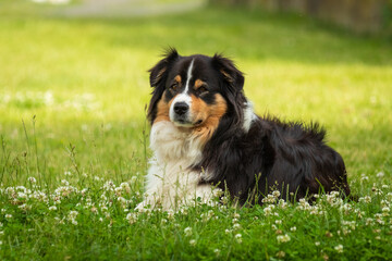 Bernese mountain dog in beautiful spring flowered field. Spring flowers and dog.