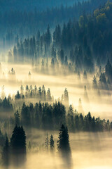 Tuinposter Ochtendstond met mist misty nature background. fog in the mountain valley. landscape with coniferous forest view from the top of a hill. fantastic glowing scenery