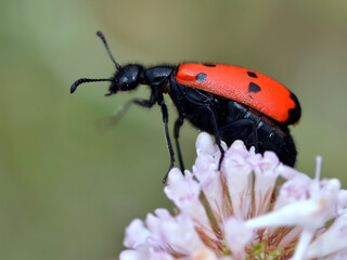 Macro of beetle Mylabris quadripunctata on flower seen from profile