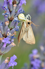 Yellow crab spider (Misumena vatia) eating night butterfly on lavender
