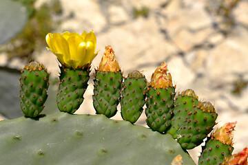 Closeup of Opuntia ficus-indica cactus at the canary in Tenerife