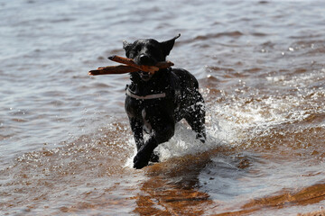 A dog runs through the water at Loch Morlich, near Aviemore