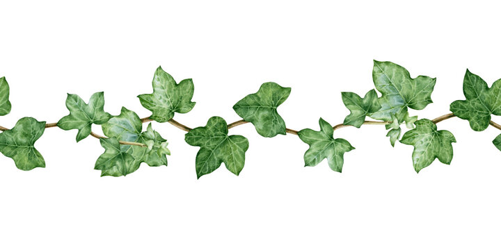 Ivy seamless border watercolor illustration. Hand drawn close up decorative green hedera border. Evergreen garden plant botanical ornament. Ivy lush arrangement isolated on white background