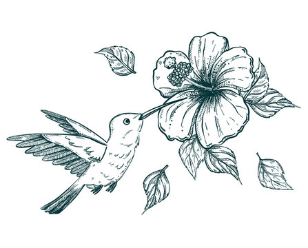 hand drawn sketch illustration of a hummingbird or colibri and tropical hibiscus flower
