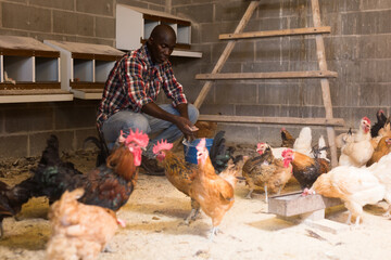 African american man farmer taking care  chickens at  chicken-house